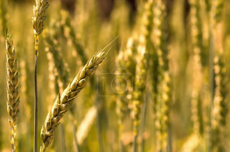 Photo for Golden bread wheat field grain macro close-up - Royalty Free Image