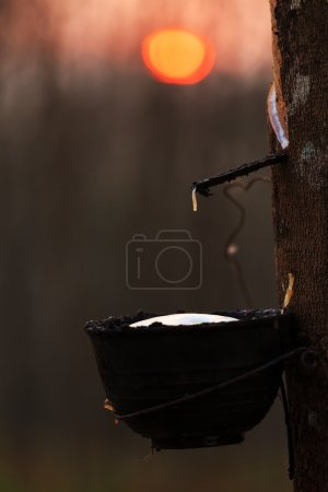 Rubber tree at sunrise in mist At South Thailand