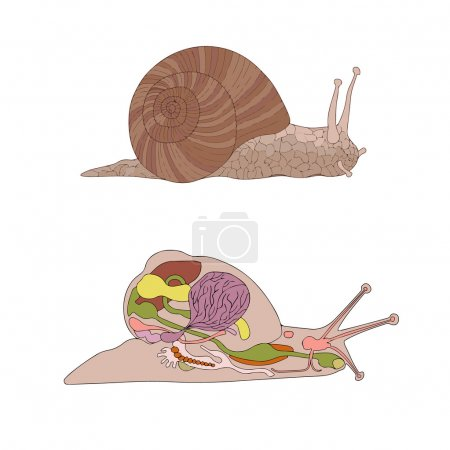Illustration for Zoology, anatomy, morphology, cross-section of snail - Royalty Free Image