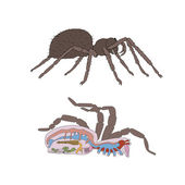Morphology cross-section of spider