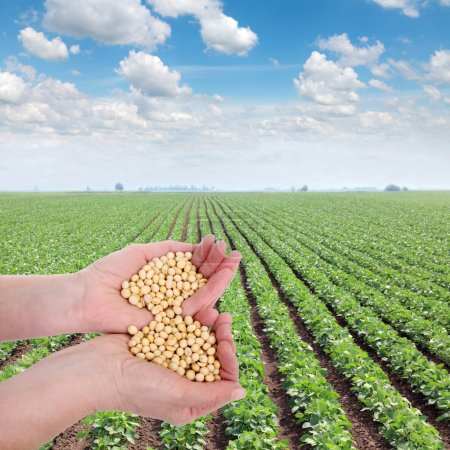Photo for Human hand holding soybean, with field in background - Royalty Free Image