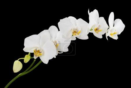 Foto de Orquídeas blancas con amarillos middles aisladas sobre fondo negro - Imagen libre de derechos