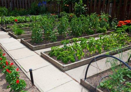 Photo pour Jardins légumes surélevées sont plus productives et plus faciles à entretenir que les parcelles de jardin traditionnel. un article de plates-bandes surélevées sur une journée ensoleillée. - image libre de droit