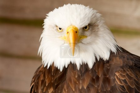 A close up profile of a bald eagle...