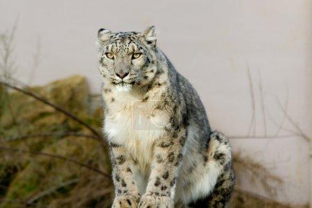 Photo pour Un léopard des neiges assis sur un rocher - image libre de droit