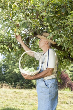 Gardener picking organic apples