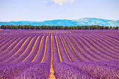Lavender flower blooming fields and trees row. Valensole, Proven