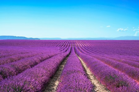 Photo for Lavender flower blooming scented fields in endless rows. Valensole plateau, provence, france, europe. - Royalty Free Image
