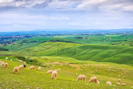 Sheeps grazing in green fields in Orcia Valley, Siena, Tuscany, Italy