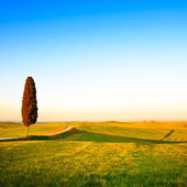 Tuscany, lonely cypress tree, rural road and shadow. Siena, Orci