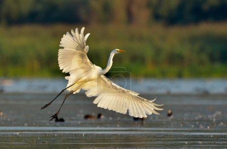 little egret (egretta garzetta) in natural habitat