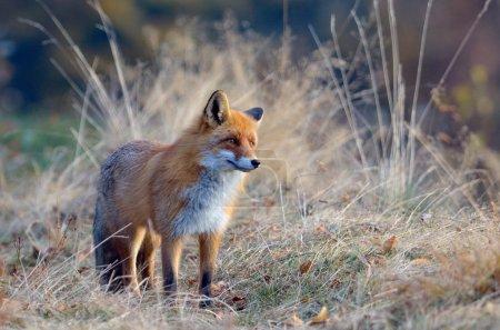 Photo pour Renard dans leur habitat naturel - image libre de droit