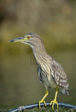 Grey heron in natural habitat