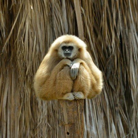Photo pour Blanc cheeked gibbon au zoo - image libre de droit