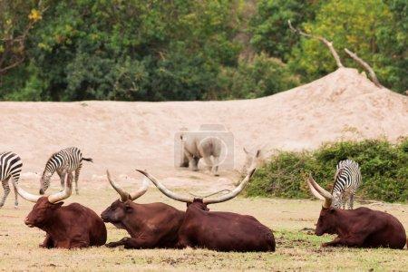 Group of Zebra and ankole-watusi