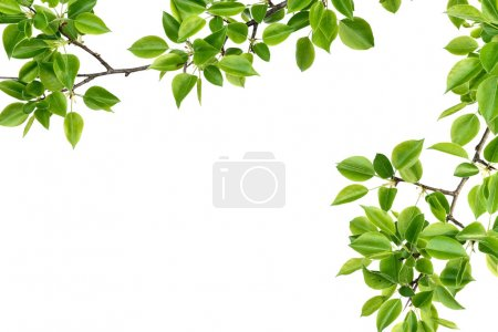 Photo for Forest branch pears isolated on a white background - Royalty Free Image