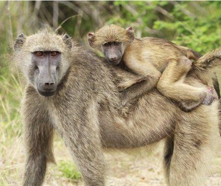 Photo pour Une mère et un jeune babouin pris dans leur environnement naturel dans le parc national Kruger, Afrique du Sud . - image libre de droit