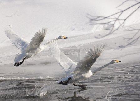 Photo pour Chaque hiver, les cygnes se rendent au Kamchatka pour hiverner. . - image libre de droit