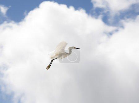 Photo pour Aigrette blanche vole sur un fond bleu ciel - image libre de droit