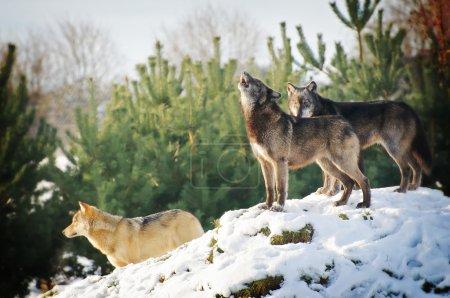 Photo pour Loup dans le paysage hivernal - image libre de droit