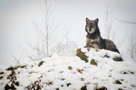 Photo pour Wolf en paysage d'hiver - image libre de droit