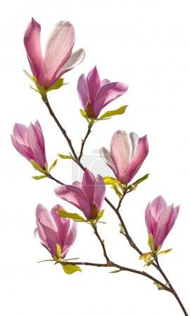 Foto de Rama floral de magnolia, aislado sobre fondo blanco - Imagen libre de derechos