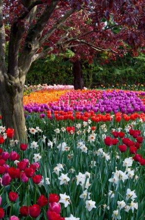 Photo pour Jardin de tulipes de fleurs, festival de tulipes à Skagit - image libre de droit