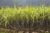 A field of  sugar cane growing in Guilin county, Guangxi Zhuang Autonomous Region, China