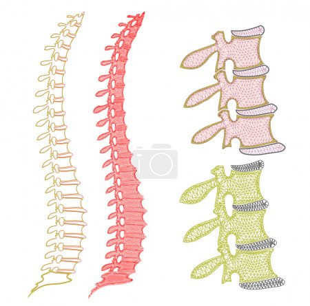 Human Spine Graphic