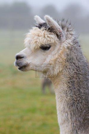 Foto de Una alpaca se asemeja a una pequeña llama en apariencia y su lana se utiliza para hacer artículos de punto y tejidos como mantas, suéteres, sombreros, guantes y bufandas. - Imagen libre de derechos