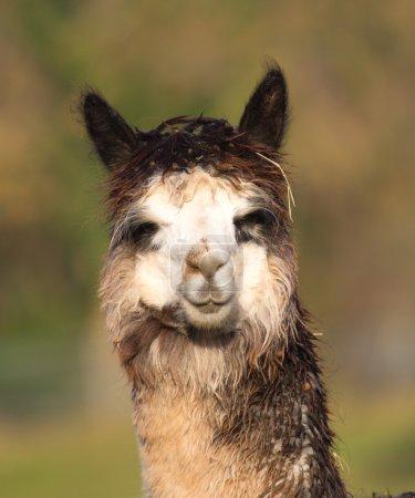 Foto de Una alpaca se asemeja a una pequeña llama en apariencia y su lana se utiliza para hacer artículos de punto y tejidos como mantas, suéteres, sombreros, guantes y bufandas. . - Imagen libre de derechos