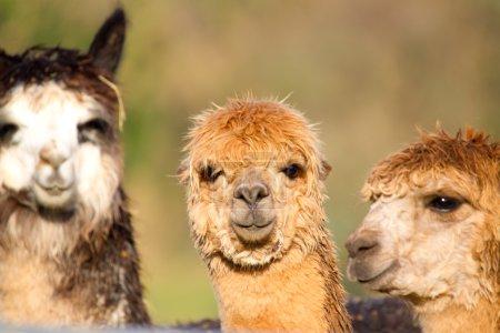 Female Alpacas like llamas