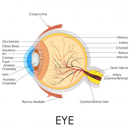 Illustration for Vector illustration of diagram of human eye anatomy - Royalty Free Image