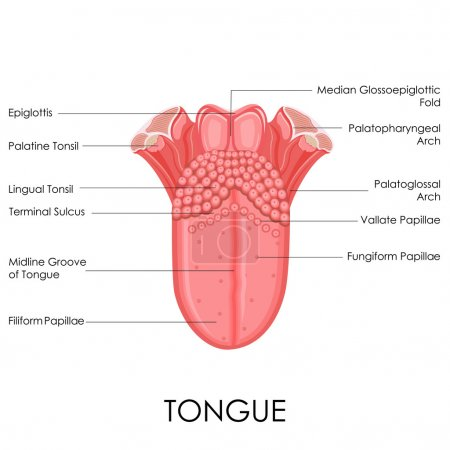 Illustration for Vector illustration of diagram of human tongue anatomy - Royalty Free Image