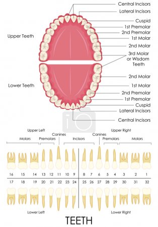Human Dental Anatomy