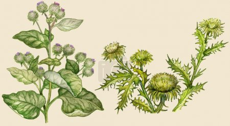 Burdock and thistle