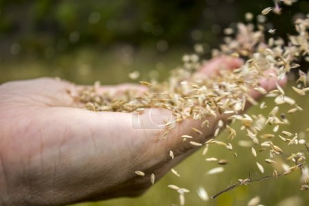 Photo pour Le vent répand les graines sur une main en commençant un cycle de reproduction au printemps - image libre de droit