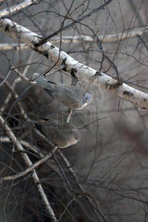 Photo pour Paire de tourterelles assises sur la branche d'un arbre - image libre de droit
