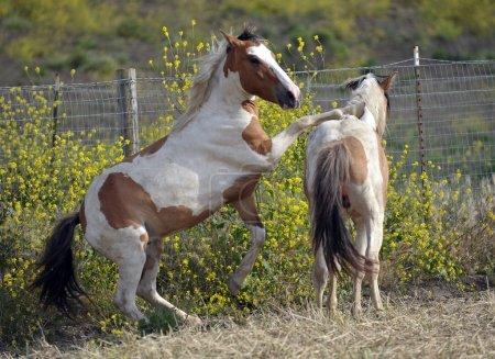 Photo pour Plusieurs chevaux sauvages au sommet d'une crête au Return To Freedom Wild Horse Sanctuary à Lompoc, Californie. Ce sont des mustangs sauvages qui ont été sauvés du Bureau de la gestion des terres (où ils devaient être tués ) - image libre de droit