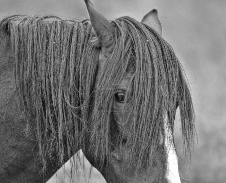 Head of a wild mustang horse