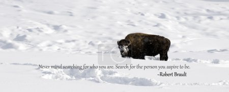 Yellowstone Bison in winter