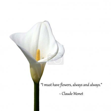 Photo pour Lys calla blancs, isolés sur blanc. avec la phrase « je dois avoir des fleurs, toujours et toujours » - claude monet - image libre de droit