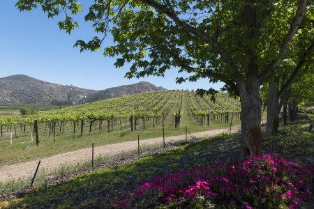 Vineyards of North County San Diego framed by tree...