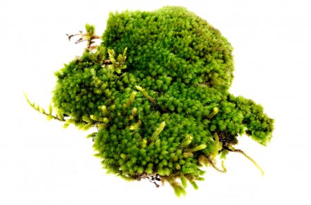 Photo for Closeup moss isolated on white background - Royalty Free Image