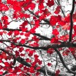 Red Fall leaves contrast on black and white backgr...