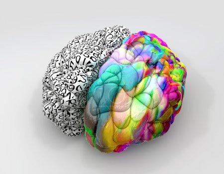 Photo pour Un cerveau typique avec le côté gauche, représentant un esprit analytique, structuré et logique et la coté droit, dépeignant un côté épars, créatif et coloré sur un fond isolé - image libre de droit