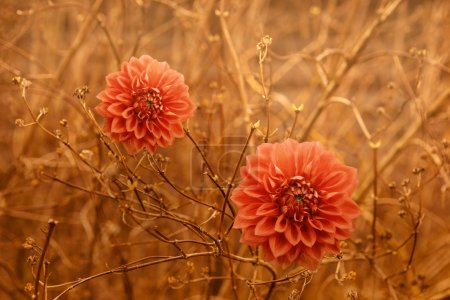 Two orange Dahlia Autumn flowers over brown branches background.