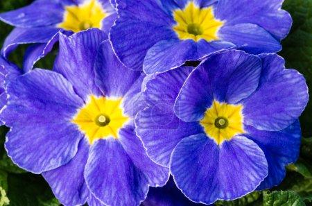 Blue primrose flowers in full bloom