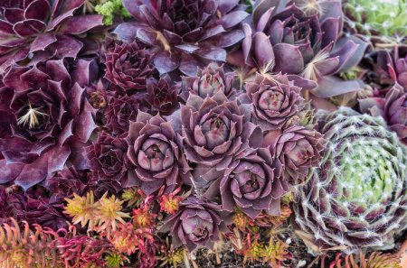 Sedum or sempervivium plants for use with sustainable green roof