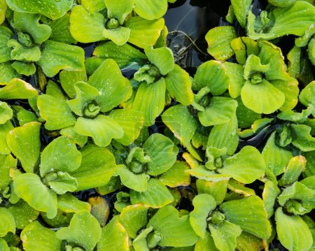 Water Lettuce plants floating on a pond